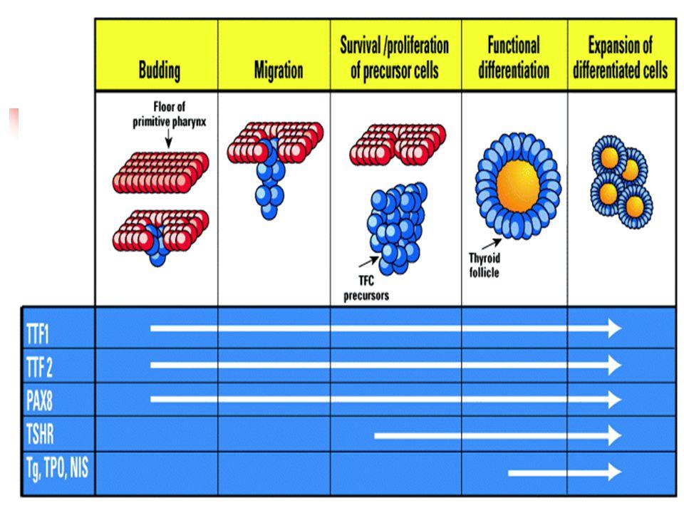 TTF-2 mutation Spiky hair, hypertelorism, micrognathia, cleft palate Park SM, Chatterjee VK.