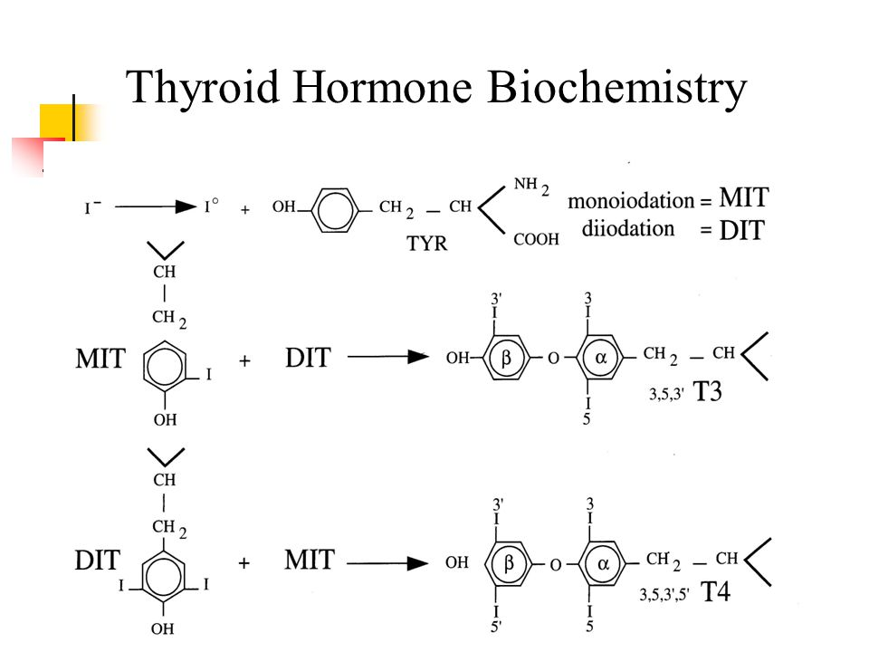 Thyroid Hormone Effects Brain development in infancy Somatic growth and development Thermogenesis Adrenergic effects