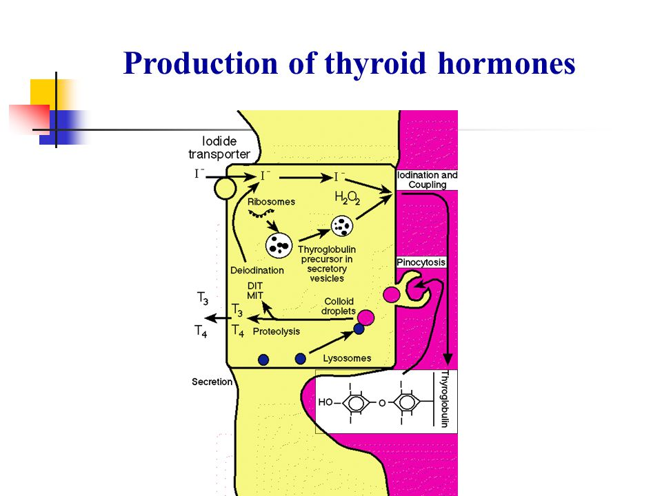 Thyroid Hormone Synthesis Iodide trapping Synthesis of thyroglobulin Organification of iodotyrosine Coupling, storage of T3 and T4 in colloid Endocytosis of colloid droplets Hydrolysis of TG to MIT, DIT, T3 and T4 Secretion and circulation Deiodination of MIT and DIT, Iodine recycling