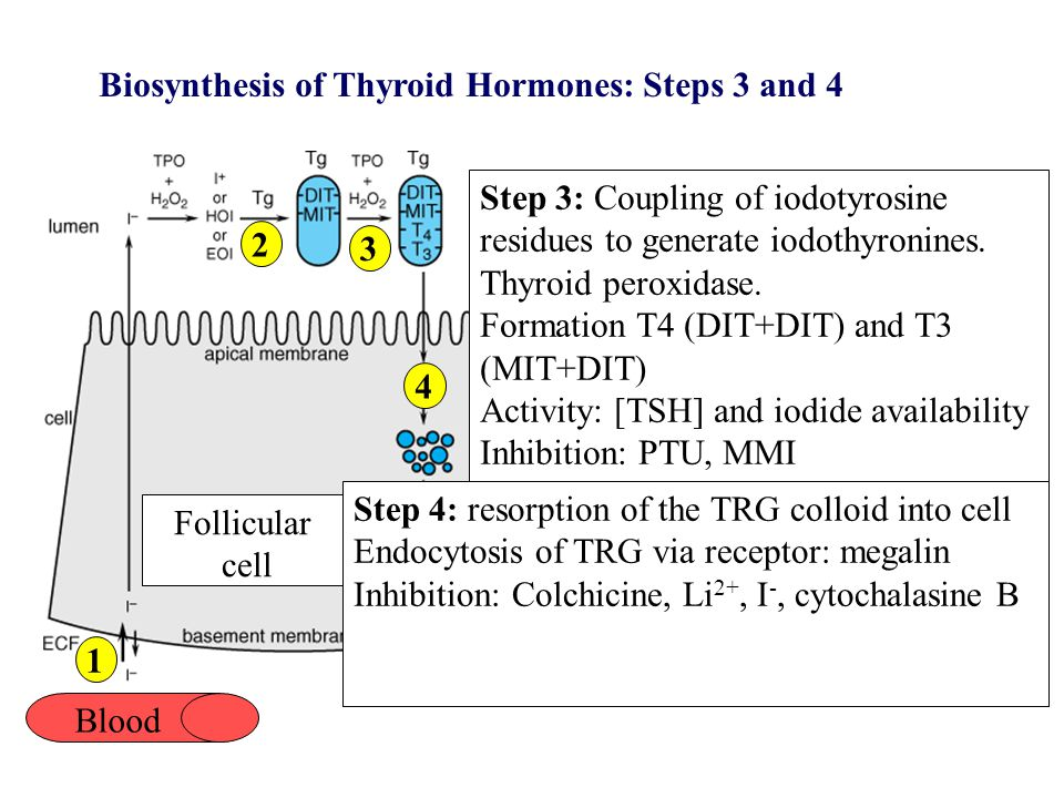 Biosynthesis of Thyroid Hormones: Steps 5 to 7 Blood 1 2 3 4 Step 5: Proteolysis of TRG.