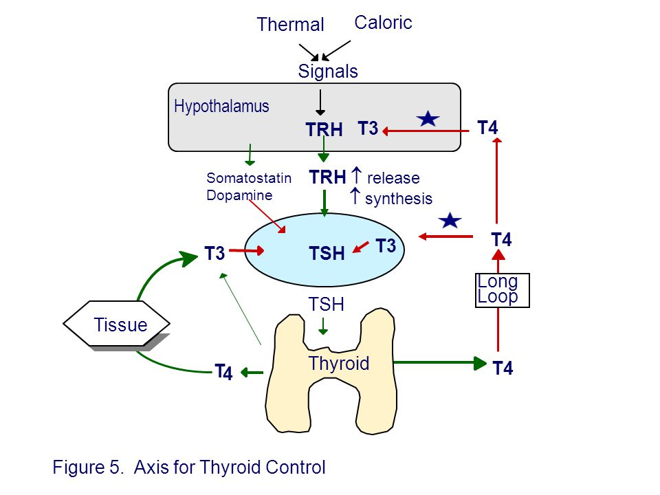 TRH Hypothalamus TRH  release  synthesis TSH T4,T3 T4 Somatostatin Dopamine TSH Long Loop Thermal Caloric Signals T3 T 4 Figure 5. Axis for Thyroid
