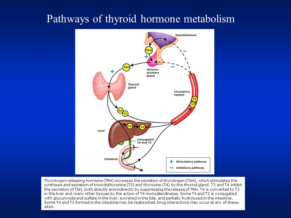 Thyrotropin-releasing hormone (TRH) increases the secretion of thyrotropin (TSH), which stimulates the synthesis and secretion of trioiodothyronine (T3) and thyroxine (T4) by the thyroid gland.