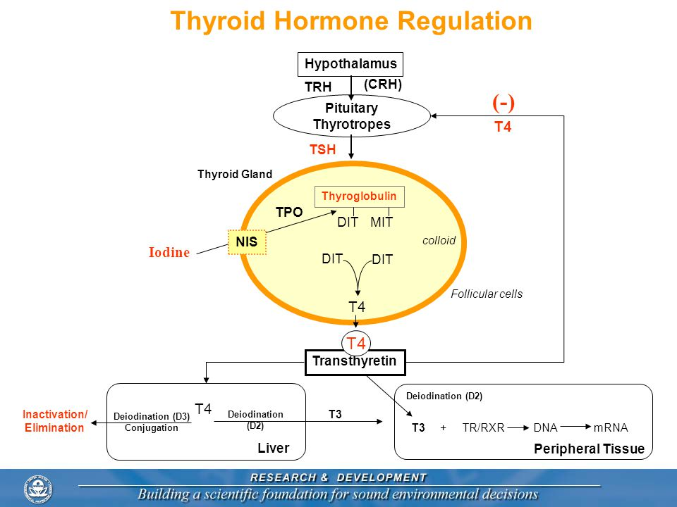 Thyroid Hormone Regulation Pituitary Thyrotropes TRH (CRH) Hypothalamus Thyroid Gland Transthyretin (-) T4 Iodine TPO DIT T4 TSH Peripheral Tissue T3 + TR/RXR DNA mRNA Liver T3 Deiodination (D2) T4 Deiodination (D3) Conjugation Inactivation/ Elimination Deiodination (D2) T4 NIS MITDIT Thyroglobulin colloid Follicular cells