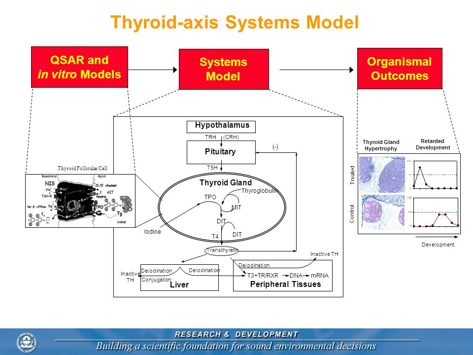 Thyroid-axis Systems Model Hypothalamus Pituitary Iodine Thyroid Gland Thyroglobulin TPO MIT DIT T4 TSH (-) (CRH)TRH Liver Peripheral Tissues T3+TR/RXR Deiodination Conjugation Inactive TH Deiodination DNAmRNA Inactive TH Transthyretin Systems Model QSAR and in vitro Models Thyroid Follicular Cell Organismal Outcomes Thyroid Gland Hypertrophy Retarded Development Control Treated