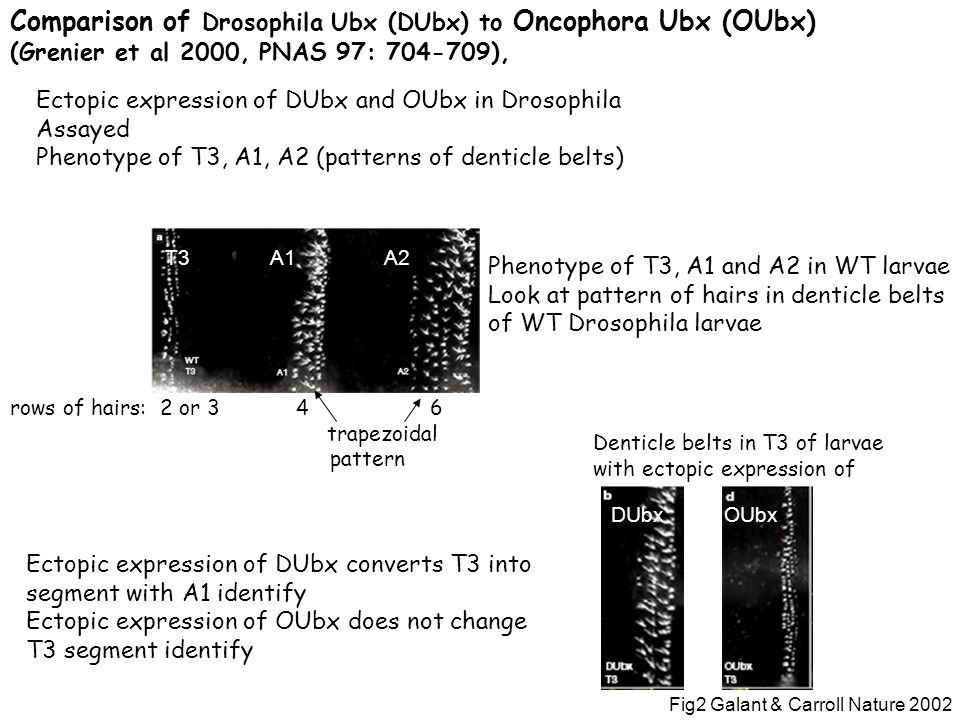 Comparison of Drosophila Ubx (DUbx) to Oncophora Ubx (OUbx) (Grenier et al 2000, PNAS 97: 704-709), Ectopic expression of DUbx and OUbx in Drosophila Assayed Phenotype of T3, A1, A2 (patterns of denticle belts) Phenotype of T3, A1 and A2 in WT larvae Look at pattern of hairs in denticle belts of WT Drosophila larvae T3A1A2 rows of hairs: 2 or 3 4 6 trapezoidal pattern DUbxOUbx Denticle belts in T3 of larvae with ectopic expression of Ectopic expression of DUbx converts T3 into segment with A1 identify Ectopic expression of OUbx does not change T3 segment identify Fig2 Galant & Carroll Nature 2002