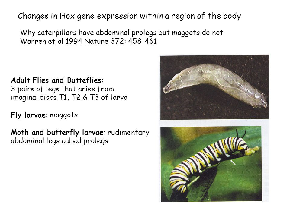 Changes in Hox gene expression within a region of the body Why caterpillars have abdominal prolegs but maggots do not Warren et al 1994 Nature 372: 458-461 Adult Flies and Butteflies: 3 pairs of legs that arise from imaginal discs T1, T2 & T3 of larva Fly larvae: maggots Moth and butterfly larvae: rudimentary abdominal legs called prolegs