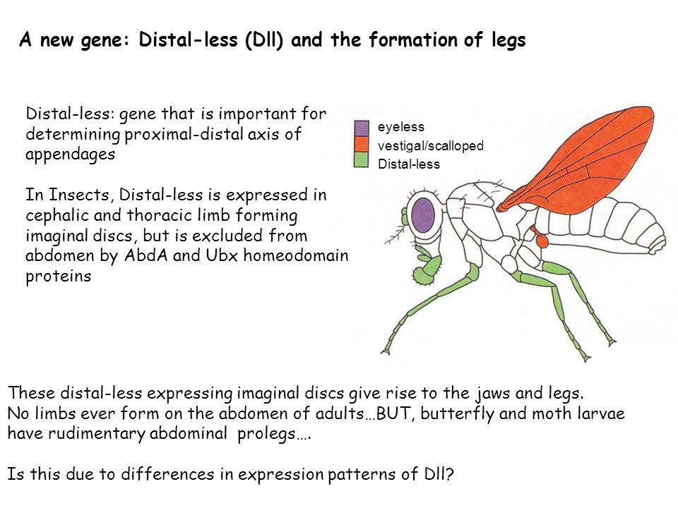 A new gene: Distal-less (Dll) and the formation of legs These distal-less expressing imaginal discs give rise to the jaws and legs.