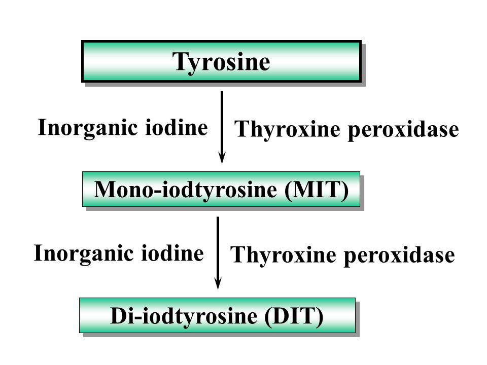 T3 and T4 are synthesized in the thyroid gland. Inorganic iodine is trapped with great avidity by the gland, oxidized and attached to tyro- sine. Comb