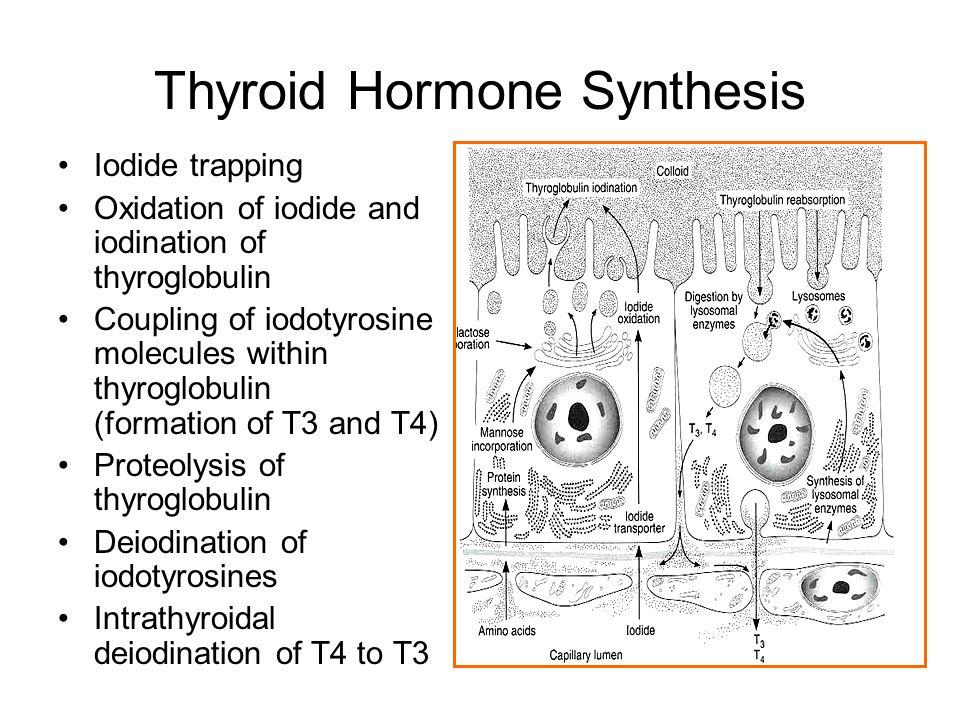 Thyroid Hormones  T4 ( Tetraiodothyronine )  T3 ( Triiodothyronine ), Reverse T3 T3T4