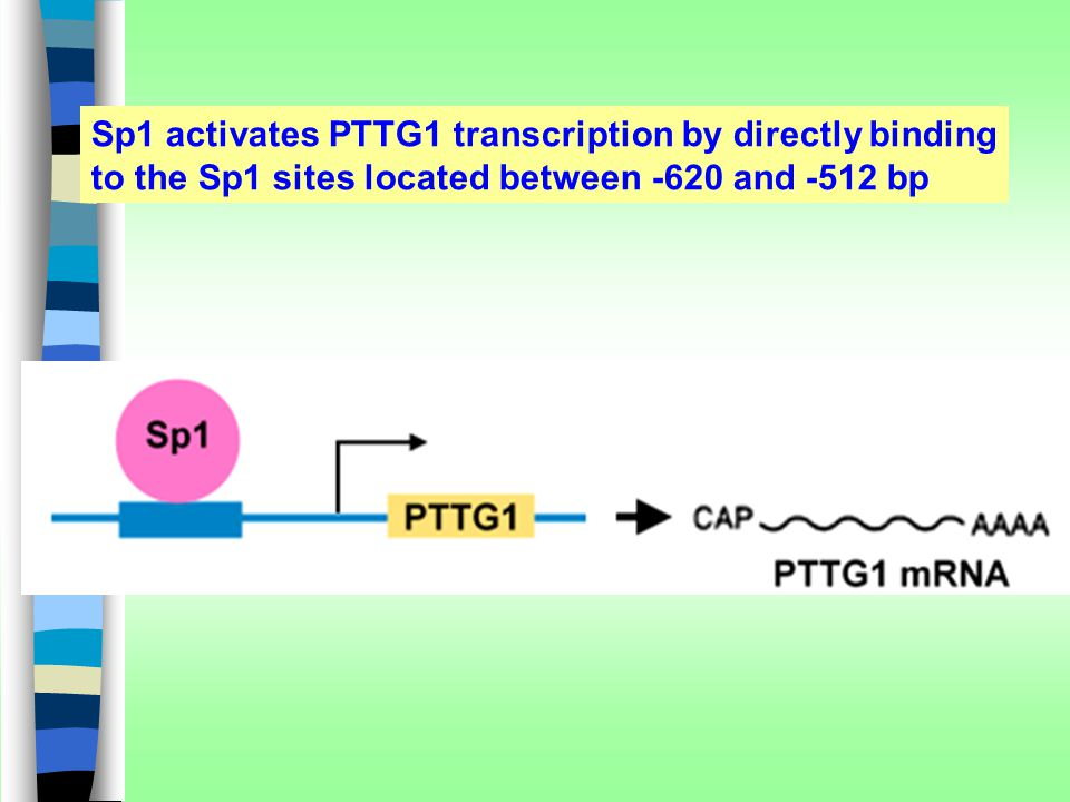 Sp1 activates PTTG1 transcription by directly binding to the Sp1 sites located between -620 and -512 bp