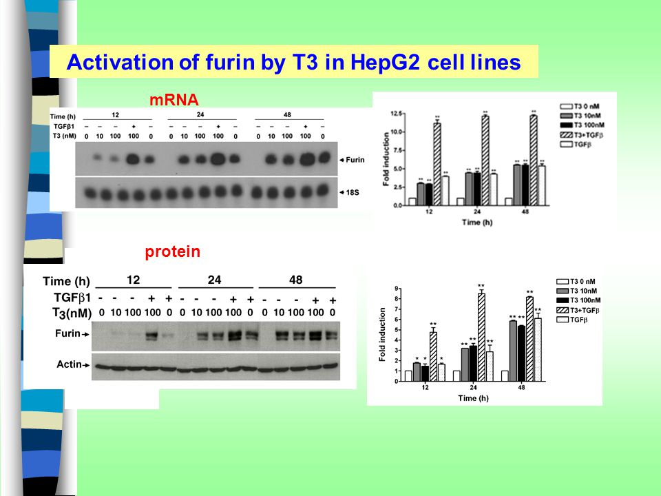 Activation of furin by T3 in HepG2 cell lines mRNA protein