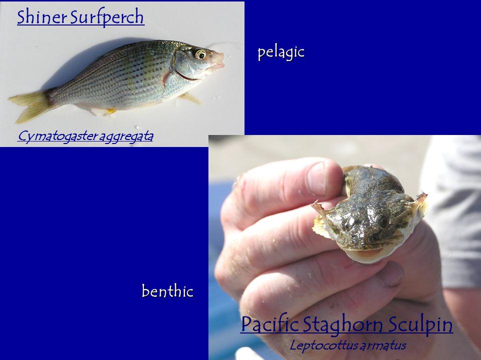 Shiner Surfperch Cymatogaster aggregata Pacific Staghorn Sculpin Leptocottus armatus pelagic benthic