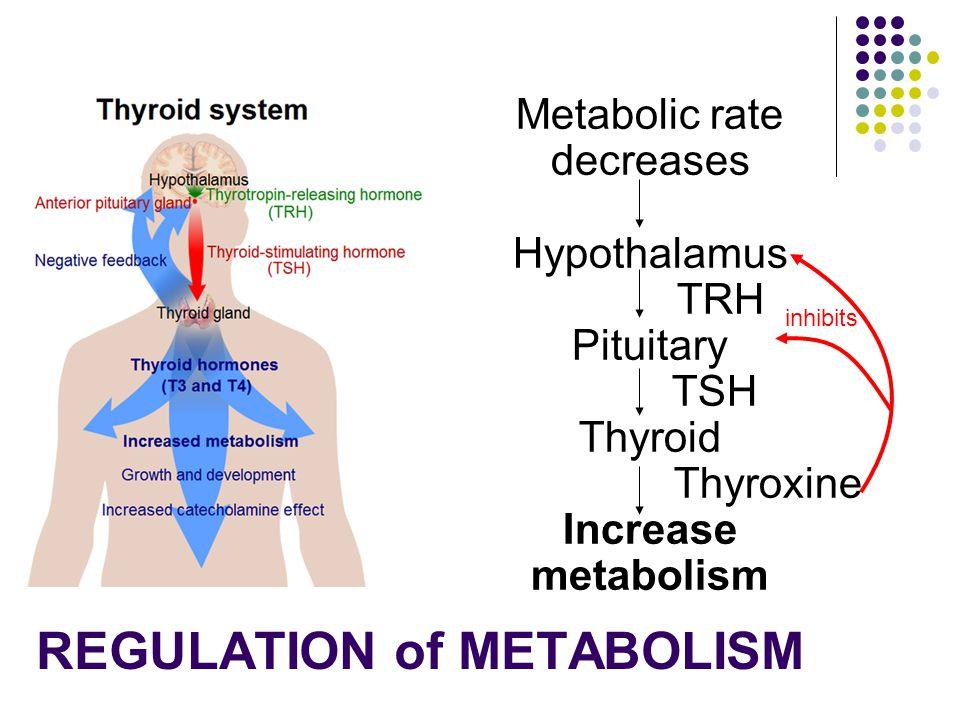Metabolic rate decreases Hypothalamus TRH Pituitary TSH Thyroid Thyroxine Increase metabolism inhibits REGULATION of METABOLISM