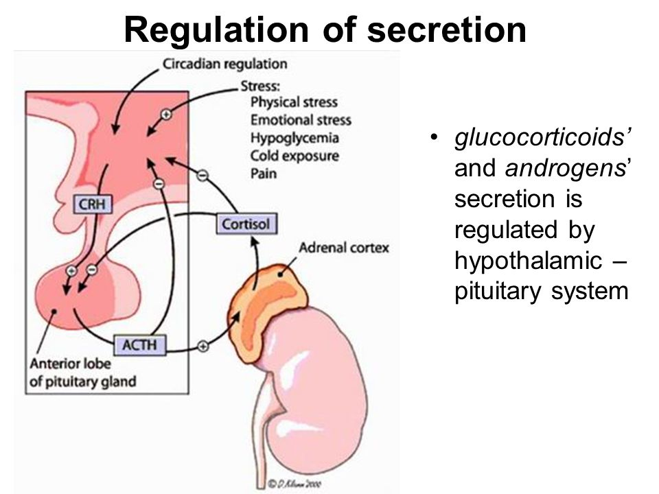 Regulation of secretion glucocorticoids' and androgens' secretion is regulated by hypothalamic – pituitary system