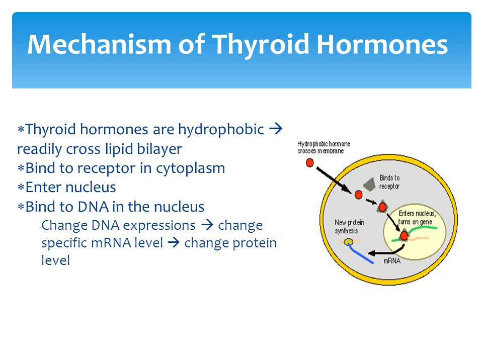  Thyroid hormones are hydrophobic  readily cross lipid bilayer  Bind to receptor in cytoplasm  Enter nucleus  Bind to DNA in the nucleus  Change