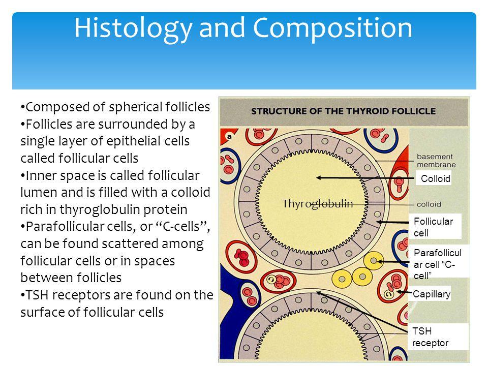 "Histology and Composition Thyroglobulin Parafollicul ar cell ""C- cell"" Follicular cell Colloid Capillary TSH receptor Composed of spherical follicles"