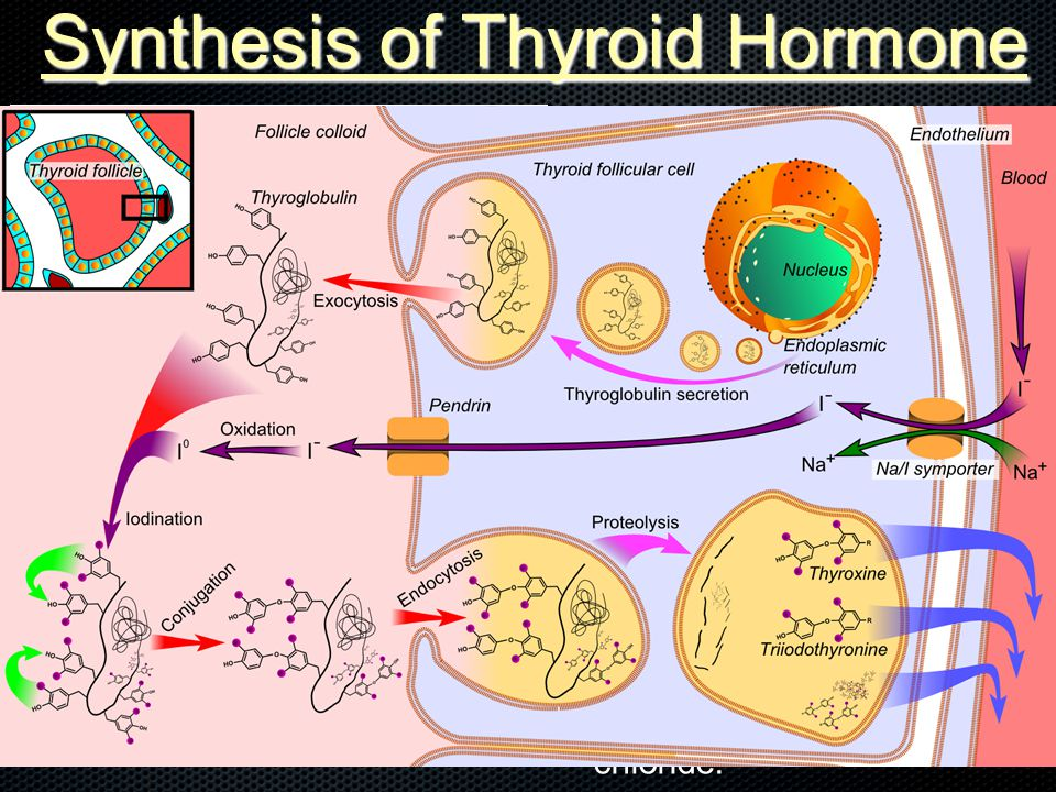 Synthesis of Thyroid Hormone T3 and T4 are unusual molecules, as they contain iodine.