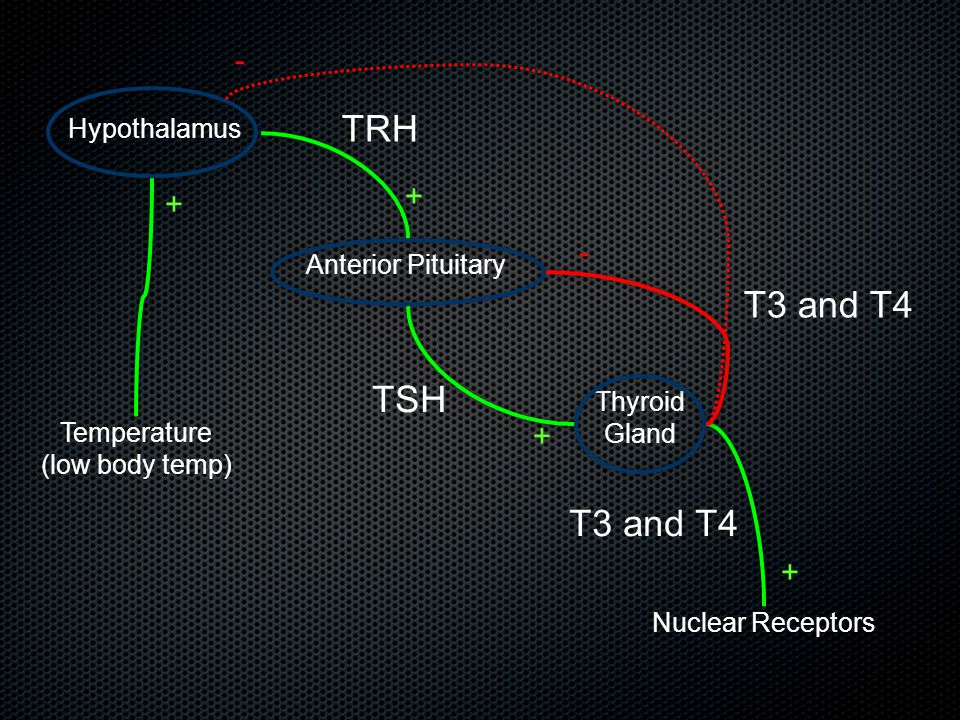 Hypothalamus Anterior Pituitary Thyroid Gland TRH TSH T3 and T4 Nuclear Receptors T3 and T4 - + + + Temperature (low body temp) + -