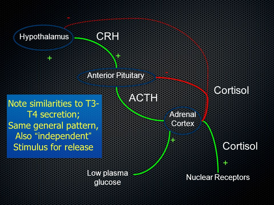 Hypothalamus Anterior Pituitary Adrenal Cortex CRH ACTH Cortisol Nuclear Receptors Cortisol - + + + Low plasma glucose + - Note similarities to T3- T4 secretion; Same general pattern, Also independent Stimulus for release