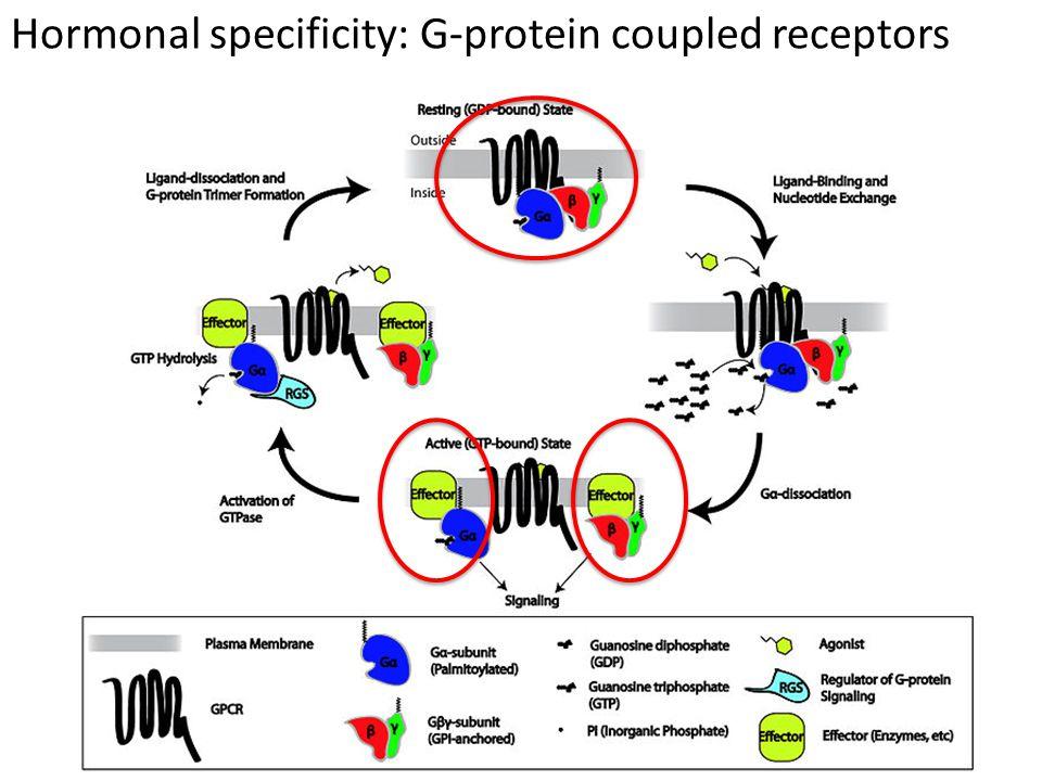 Hormonal specificity: Tyrosine kinase receptors