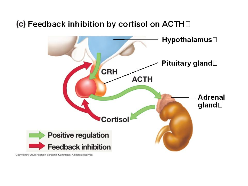 This graph shows the...a. Positive influence ACTH has on cortisol release b.