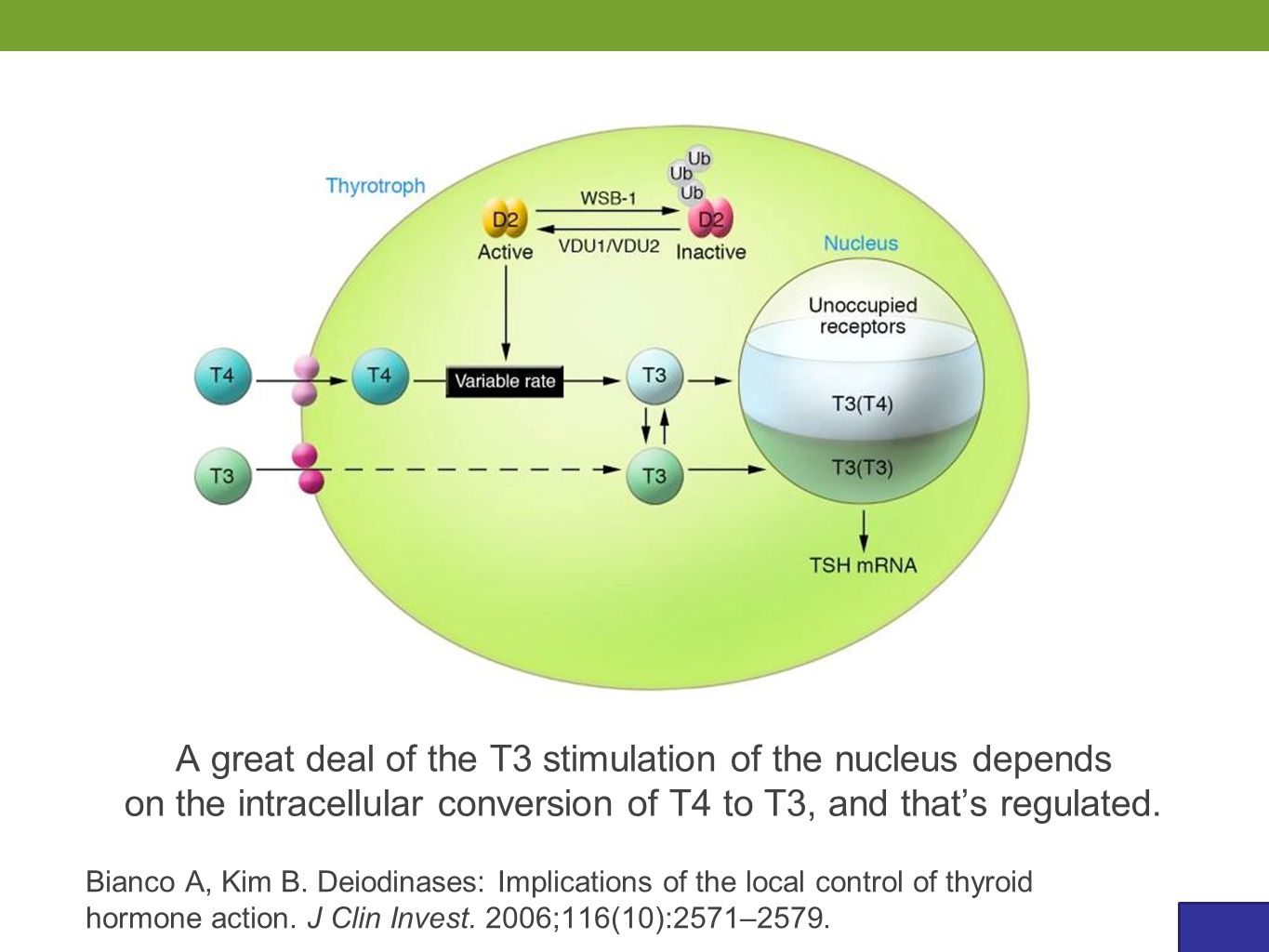 A great deal of the T3 stimulation of the nucleus depends on the intracellular conversion of T4 to T3, and that's regulated. Bianco A, Kim B. Deiodina