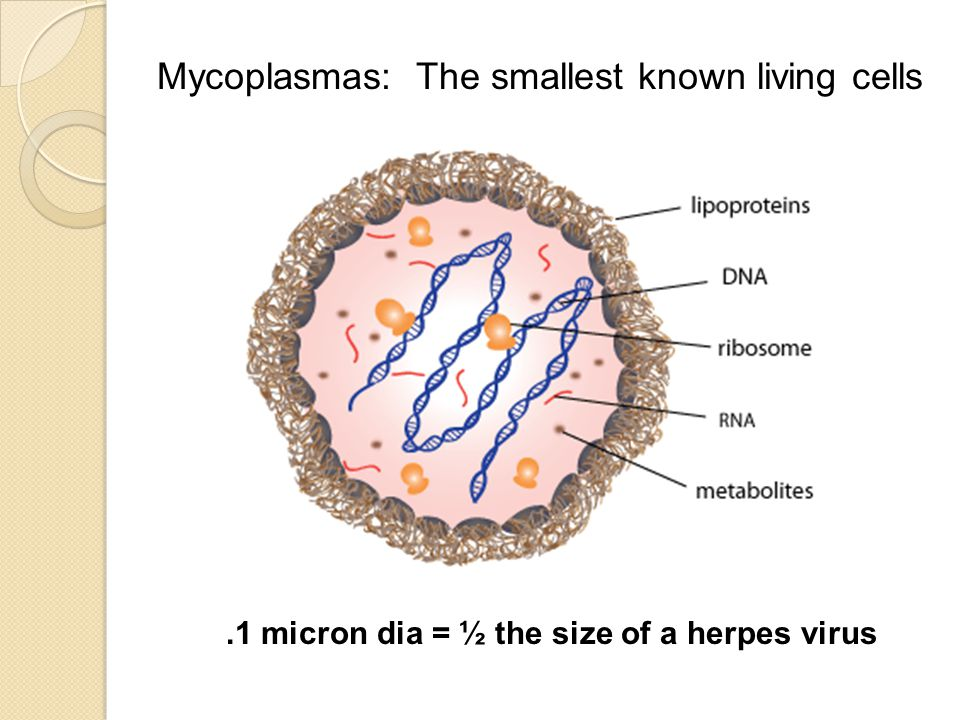 Mycoplasmas: The smallest known living cells.1 micron dia = ½ the size of a herpes virus