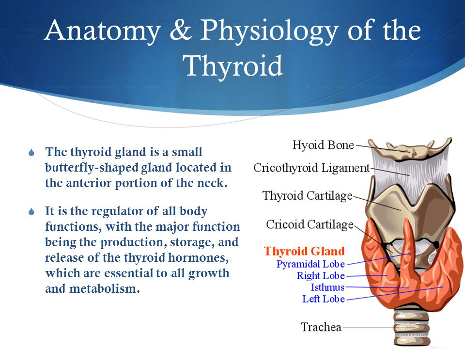 Anatomy & Physiology of the Thyroid  The thyroid gland is a small butterfly-shaped gland located in the anterior portion of the neck.  It is the reg