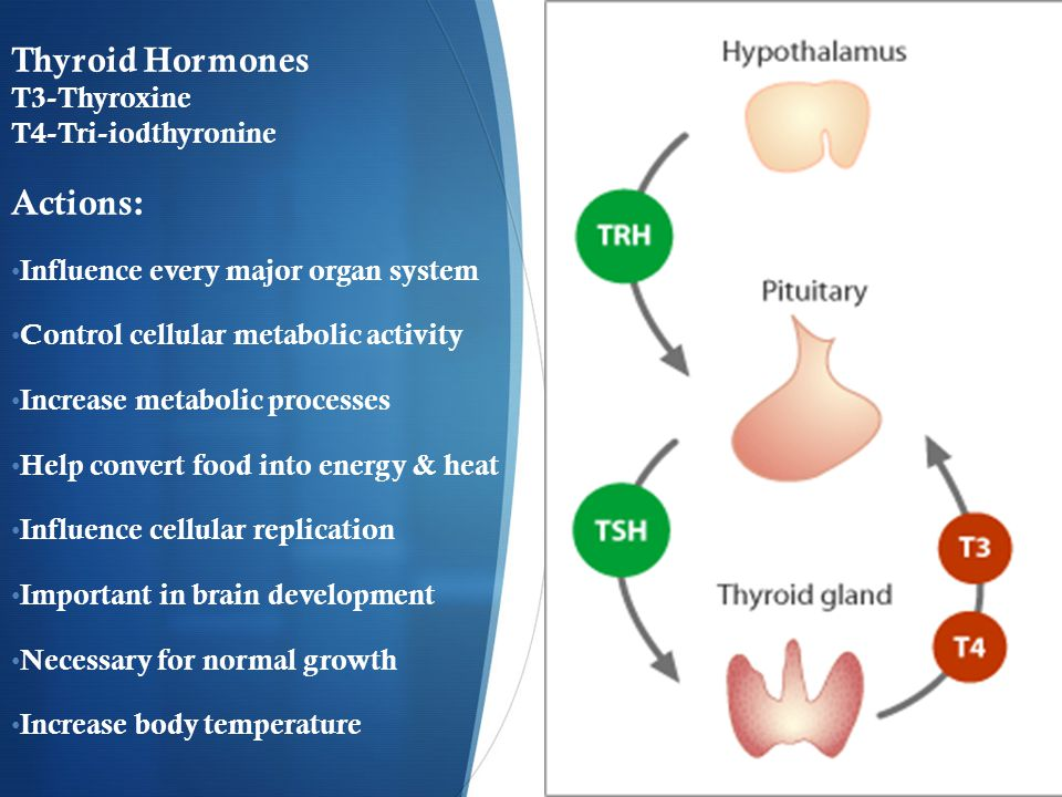 Thyroid Hormones T3-Thyroxine T4-Tri-iodthyronine Actions: Influence every major organ system Control cellular metabolic activity Increase metabolic processes Help convert food into energy & heat Influence cellular replication Important in brain development Necessary for normal growth Increase body temperature