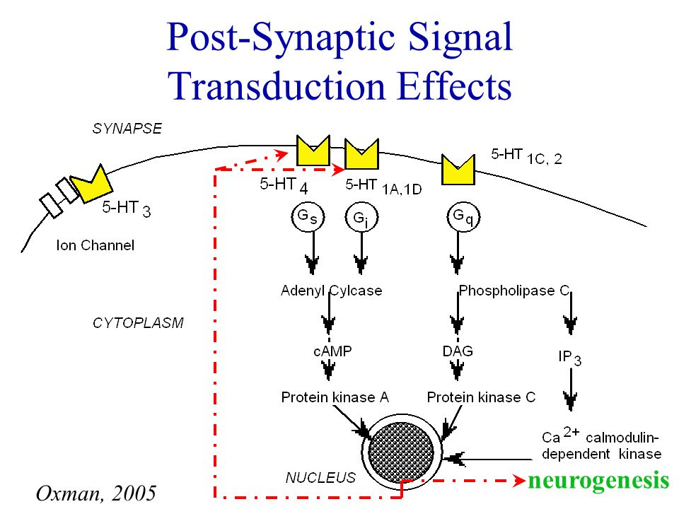 Synaptic Signaling Receptor/ Transporter Regulation Intracellular Signaling & Posttranslational Modification Gene Expression Neuroplasticity/ Neurogenesis Hours DaysDays WeeksMonths Years TIME COURSE OF BIOLOGICAL CHANGES WITH ANTIDEPRESSANTS Oxman, 2005