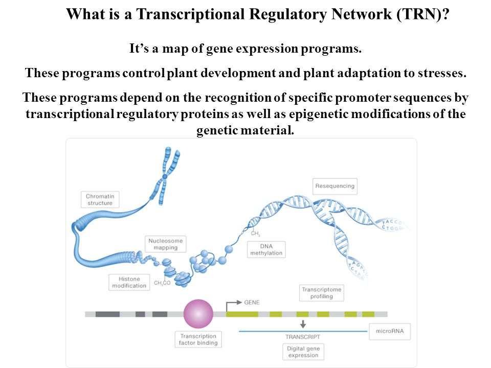 Transcriptional Regulatory Networks Nuclear protein- protein interactions (selected TFs) Nuclear Protein-DNA interactions (selected TFs) Small RNAs Genomic DNA methylome (cytosine methylation pattern) The characterization of plant TRNs requires the qualitative and quantitative integration of inter-disciplinary biological approaches Transcriptome (RNA-sequencing) Hisotne modifications Bioinformatics