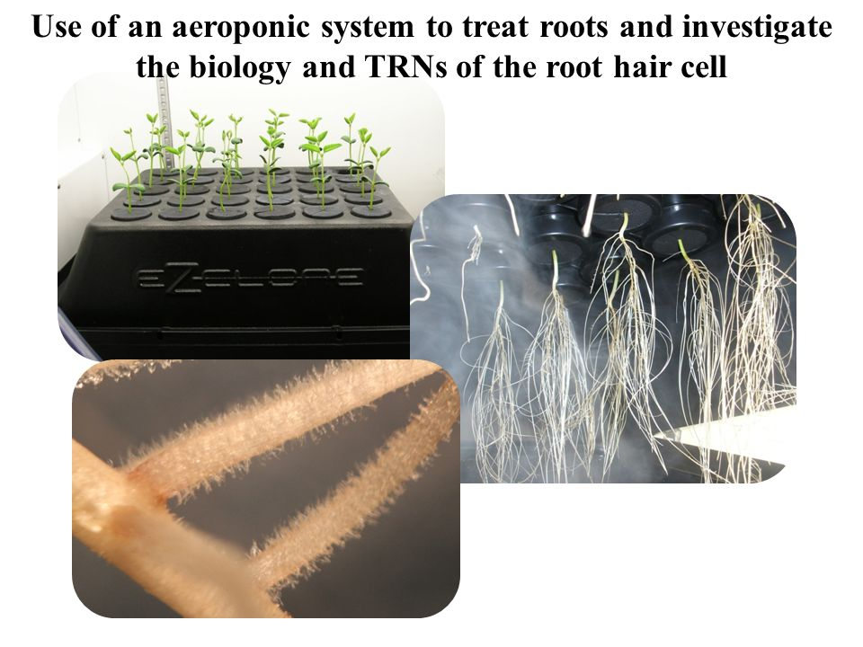 Use of an aeroponic system to treat roots and investigate the biology and TRNs of the root hair cell