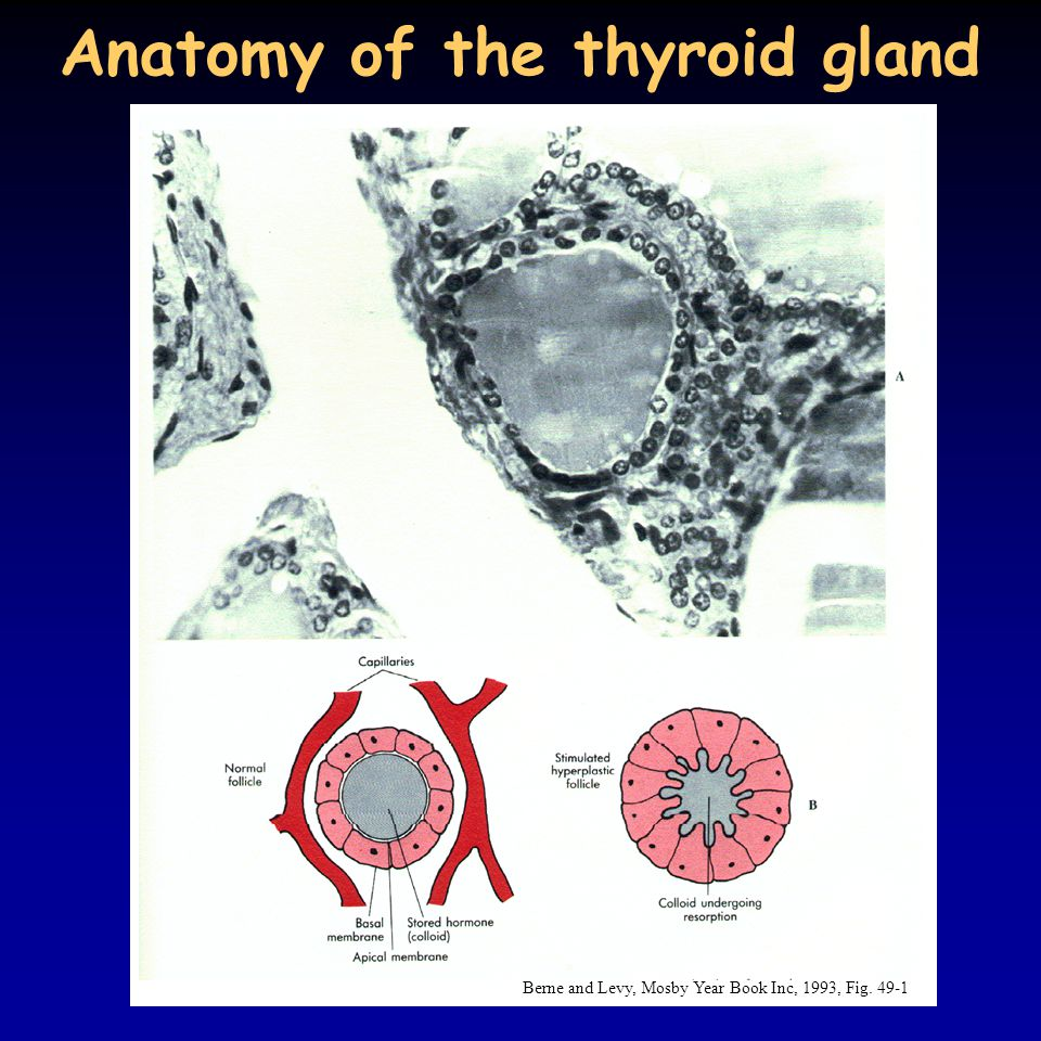 Anatomy of the thyroid gland Berne and Levy, Mosby Year Book Inc, 1993, Fig. 49-1
