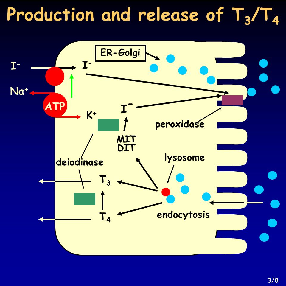 Production and release of T 3 /T 4 peroxidase ER-Golgi endocytosis lysosome T4T4 T3T3 MITMIT DITDIT I-I- deiodinase I-I- I-I- Na + K+K+ ATP 3/8