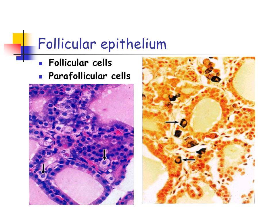Follicular epithelium Follicular cells Parafollicular cells