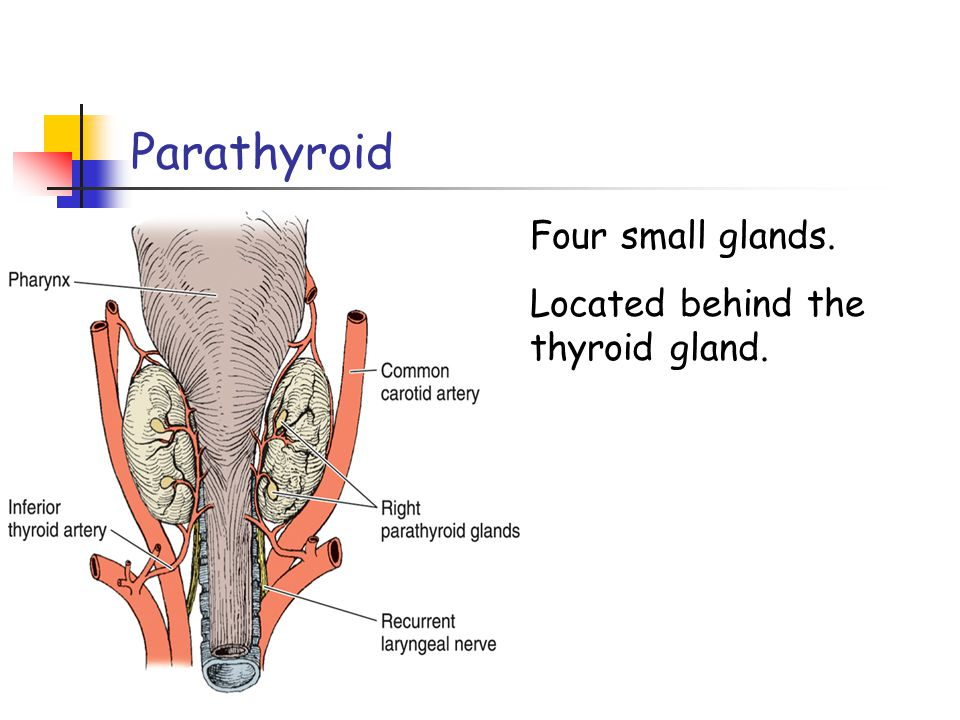 Parathyroid Four small glands. Located behind the thyroid gland.