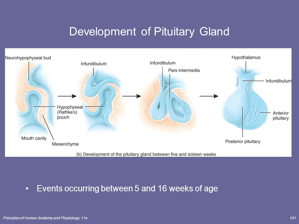Principles of Human Anatomy and Physiology, 11e101 Development of Pituitary Gland Events occurring between 5 and 16 weeks of age