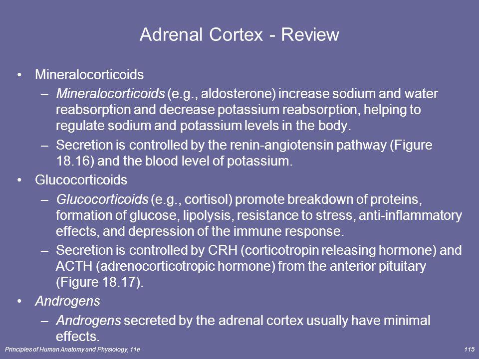 Principles of Human Anatomy and Physiology, 11e115 Adrenal Cortex - Review Mineralocorticoids –Mineralocorticoids (e.g., aldosterone) increase sodium