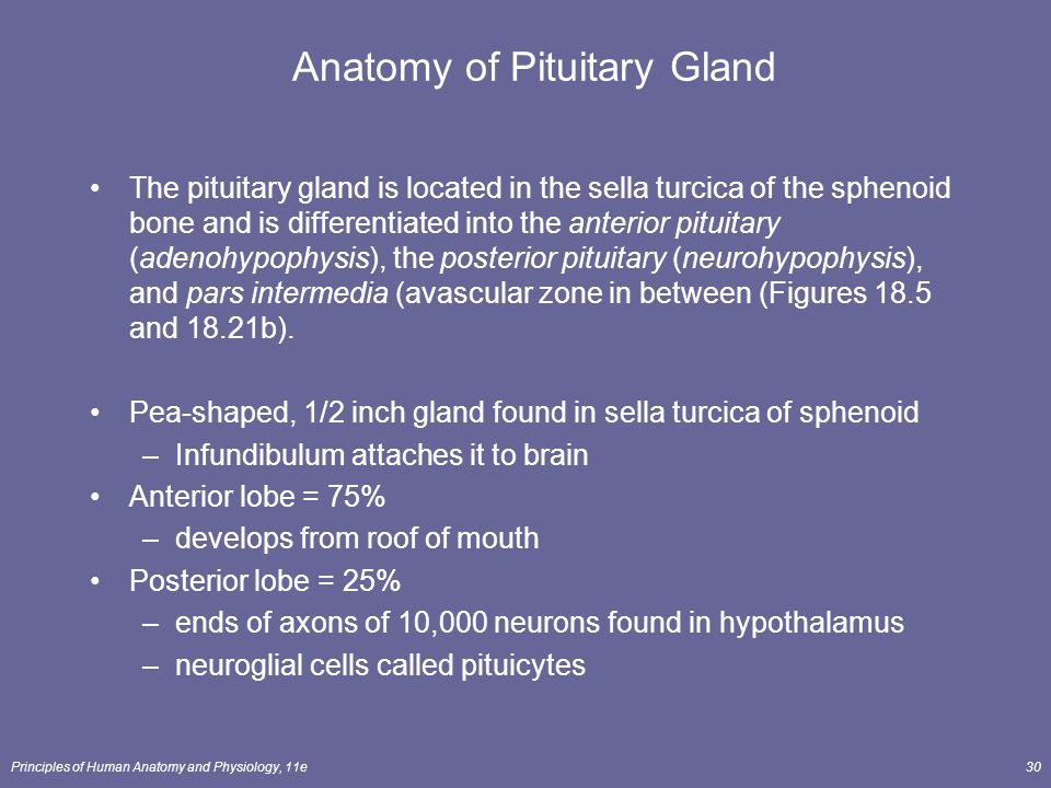 Principles of Human Anatomy and Physiology, 11e30 The pituitary gland is located in the sella turcica of the sphenoid bone and is differentiated into