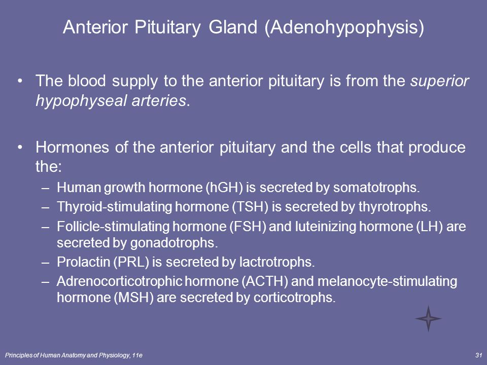 Principles of Human Anatomy and Physiology, 11e31 Anterior Pituitary Gland (Adenohypophysis) The blood supply to the anterior pituitary is from the su