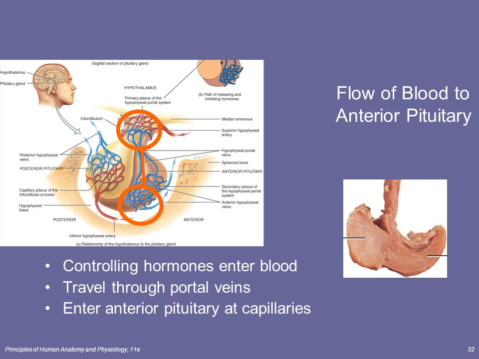 Principles of Human Anatomy and Physiology, 11e32 Flow of Blood to Anterior Pituitary Controlling hormones enter blood Travel through portal veins Ent