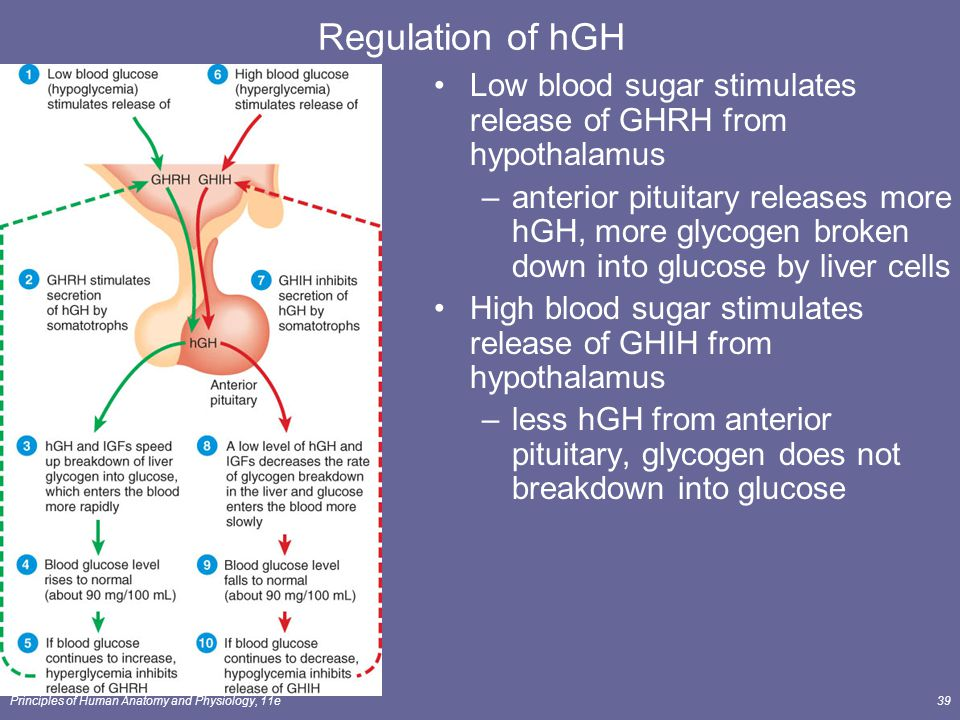 Principles of Human Anatomy and Physiology, 11e39 Regulation of hGH Low blood sugar stimulates release of GHRH from hypothalamus –anterior pituitary r