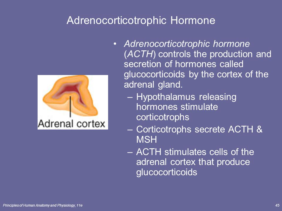 Principles of Human Anatomy and Physiology, 11e45 Adrenocorticotrophic Hormone Adrenocorticotrophic hormone (ACTH) controls the production and secreti