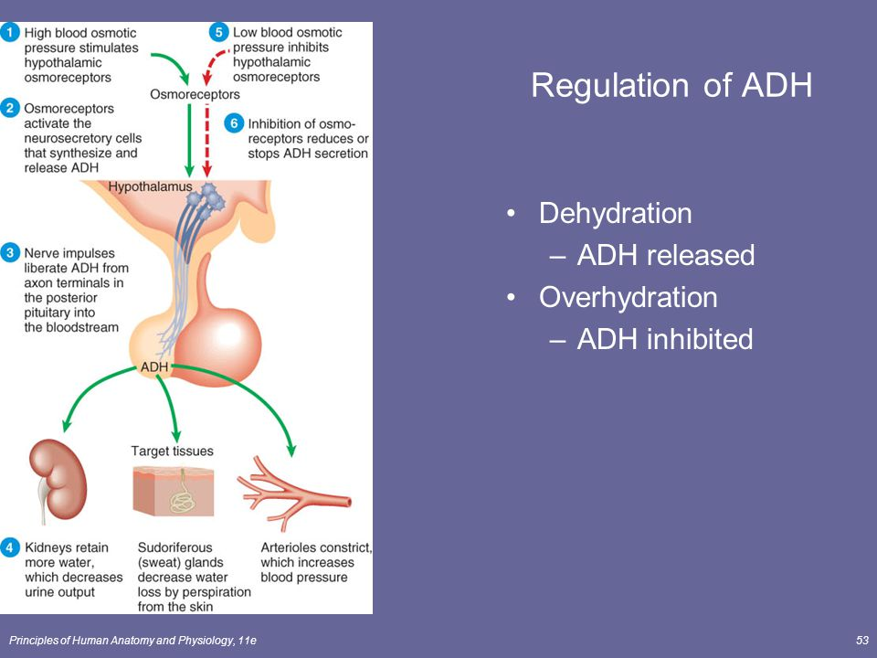Principles of Human Anatomy and Physiology, 11e53 Regulation of ADH Dehydration –ADH released Overhydration –ADH inhibited