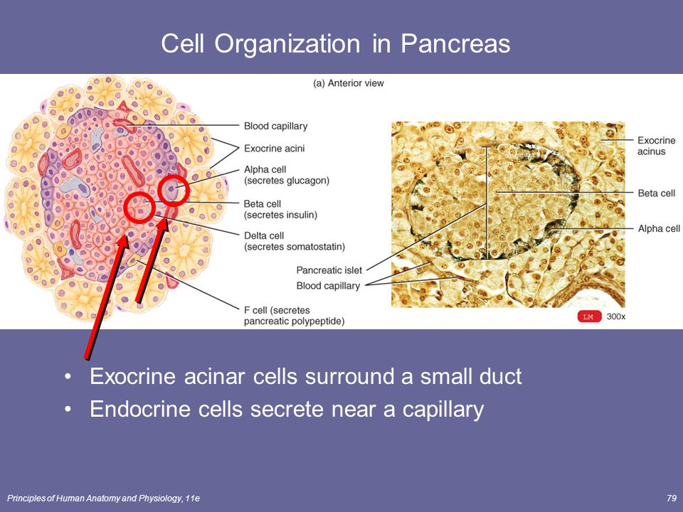 Principles of Human Anatomy and Physiology, 11e79 Cell Organization in Pancreas Exocrine acinar cells surround a small duct Endocrine cells secrete ne