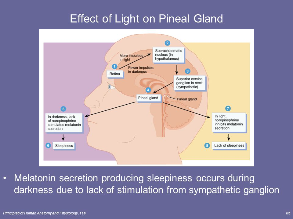 Principles of Human Anatomy and Physiology, 11e85 Effect of Light on Pineal Gland Melatonin secretion producing sleepiness occurs during darkness due