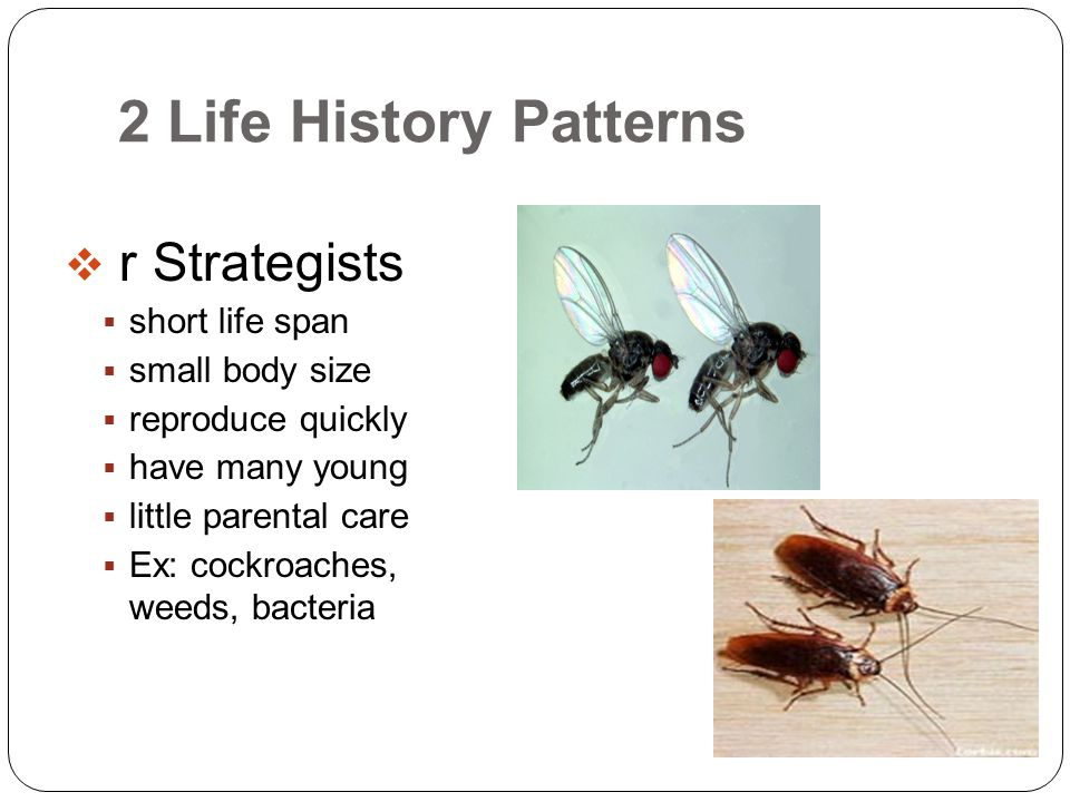 2 Life History Patterns  r Strategists  short life span  small body size  reproduce quickly  have many young  little parental care  Ex: cockroa