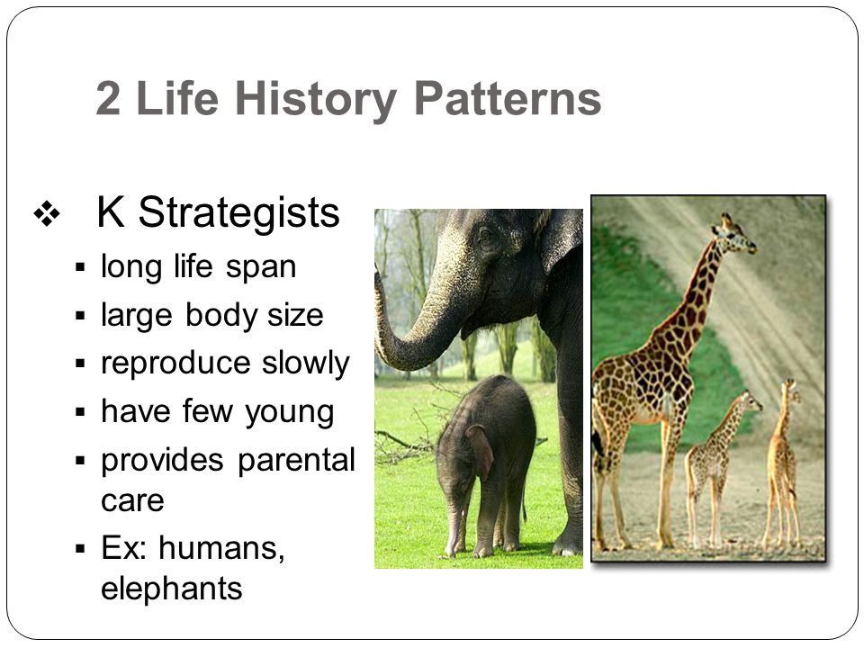 2 Life History Patterns  K Strategists  long life span  large body size  reproduce slowly  have few young  provides parental care  Ex: humans,