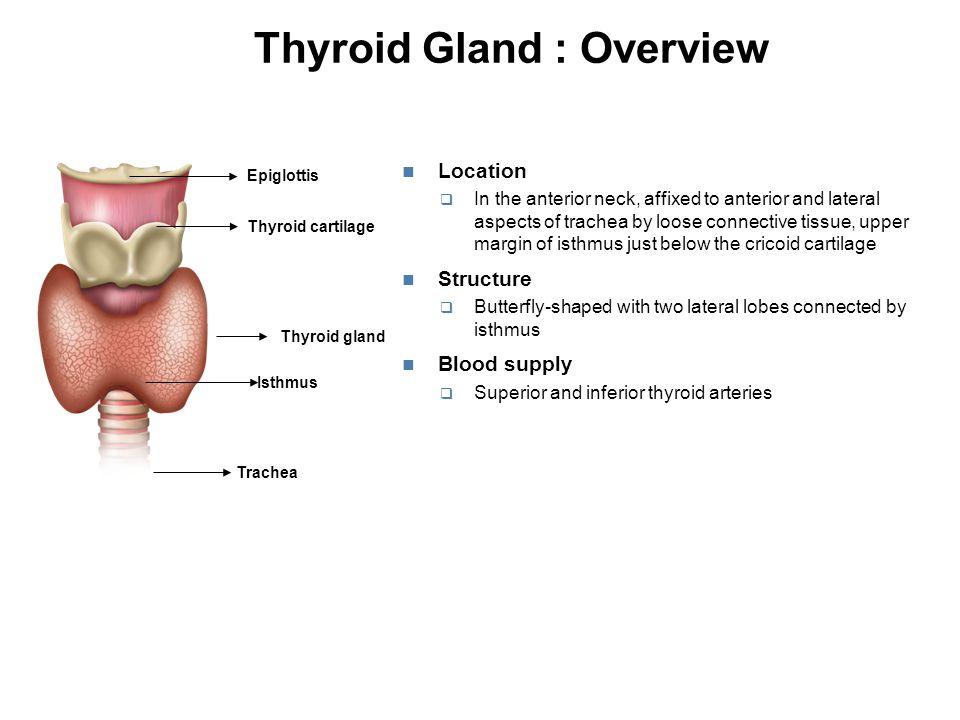 Regulation of Thyroid Hormones: Hypothalamic-Pituitary- Thyroid Axis Negative Feedback Mechanism IodineThyroid Hypertrophy Increased secretion (Thyrotropin- releasing hormone) Anterior pituitary Hypothalamus (.