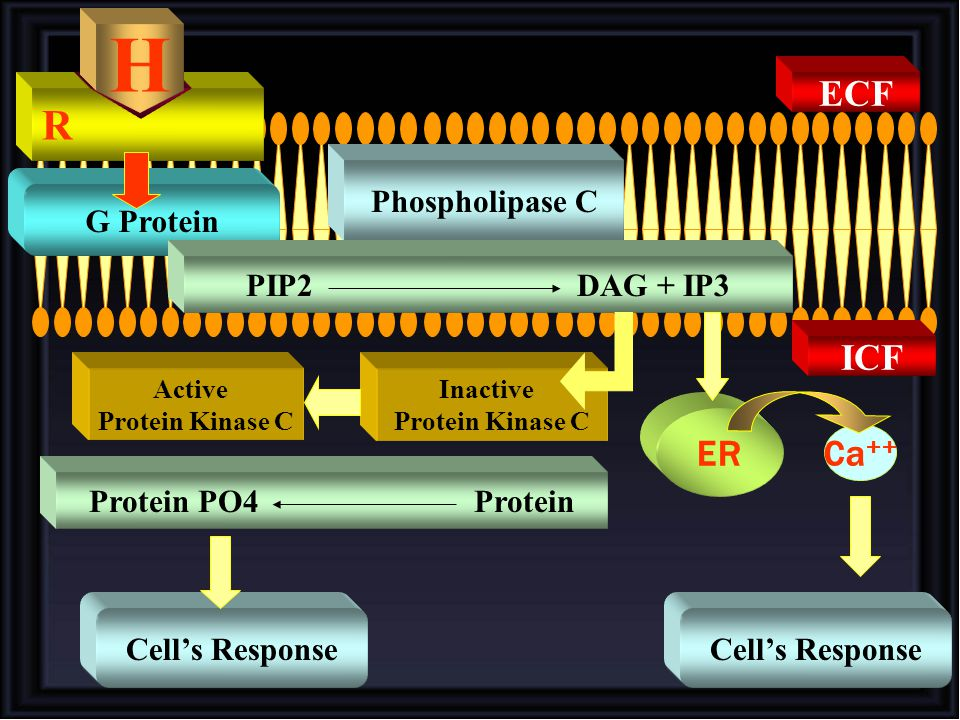 R H G Protein Phospholipase C Ca ++ ER Active Protein Kinase C Inactive Protein Kinase C Protein PO4 Protein Cell's Response PIP2 DAG + IP3 Cell's Res